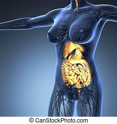 science anatomy of human body in x-ray with glow digestive system