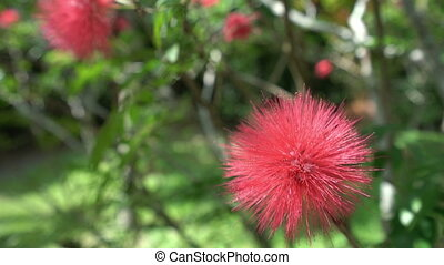 Phuket tropic flower. - Phuket tropic crimson flower close...