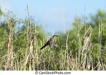 Female Boat-tailed Grackle perched comfortably on reed