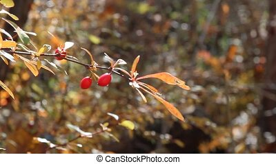 Berries - A branch of red Barberry