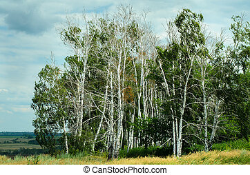 Summer landscape with birch trees in Russian