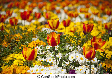 Flower garden with red and yellow tulips