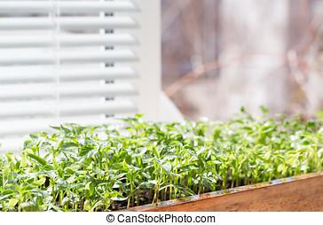 Seedling of pepper on a window sill.