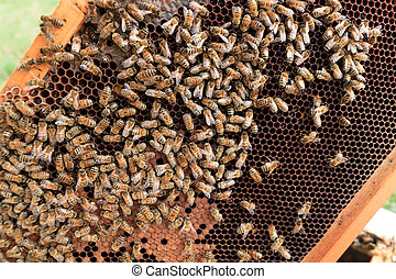 Queen bee close up - Queen bee detail Apiculture, rural life...