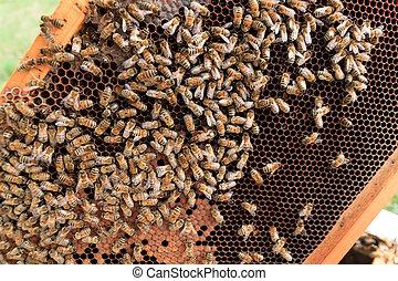 Queen bee close up - Queen bee detail. Apiculture, rural...