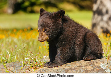 Baby American black bear (Ursus americanus) sitting on rocks
