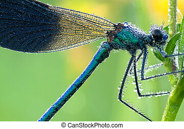 blue dragonfly with dew drops on a meadow