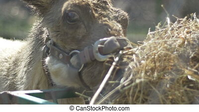 Reindeer Calf Eating Hay - Close up of a reinder calf eating...