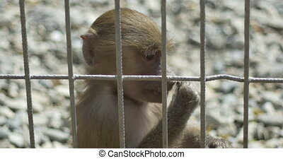 Little Monkey in Captivit - Close up of a baby monkey eating...