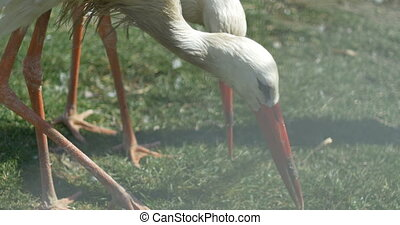 Stork Beaks Pecking - Storks pecking the ground with their...