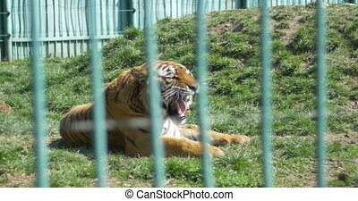 Raging Tiger at Zoo - A scarry roaring tiger at Zoo, opening...