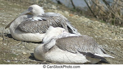 Two Pelicans Resting - Pelicans birds relaxing at sun, on...