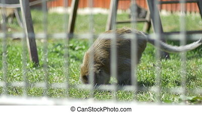 Macaque Monkey in Captivity - A macaque monkey after the...
