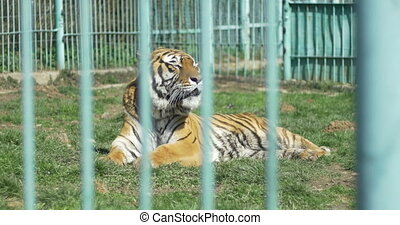 Suffering Tiger in Captivity - A large tiger laying down and...