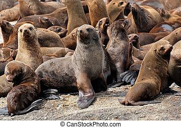 Brown fur seal colony - Brown Cape fur seal Arctocephalus...