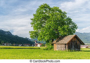 huge tree next to old wooden house at green meadow in tyrol