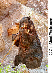American black bear Ursus americanus playing with a stick