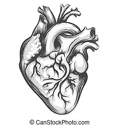 Human Heart - Human heart drawn in engraving style isolated...