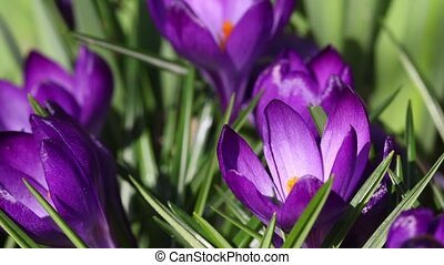 Time lapse of blooming crocus