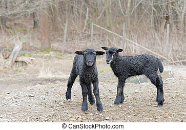 Two beautiful black lamb looking straight forward - Two...