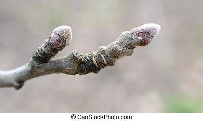 Malus domestica. Close-up of buds on apple tree branch in...