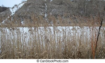 Closeup of old dry reed swaying in the wind in winter on the...
