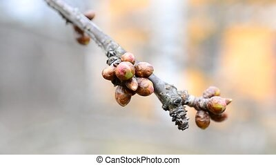 Cerasus avium. Flower buds on cherry tree branch - macro -...