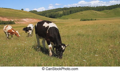 The Cows on Pasture - Herd Cows on Pasture