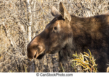 Cow Moose - a cow moose in fall