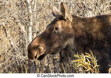 Moose, ko