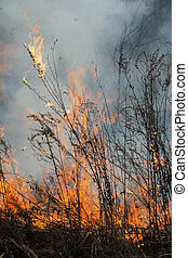 forest fire burns the vegetation - flame burns dry...