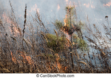 small Siberian pine burns in a fire - fire in time a forest...