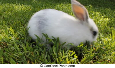 White rabbit on green grass 18080_01 - Cute white rabbit on...