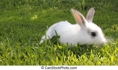 White rabbit on green grass 18078_01 - Cute white rabbit on...