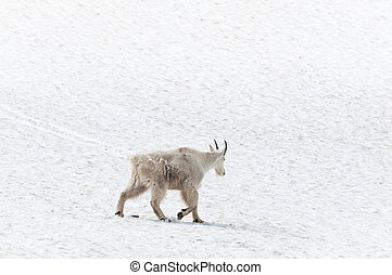 Mountain goat on the snow - Mountain goat walking away on...