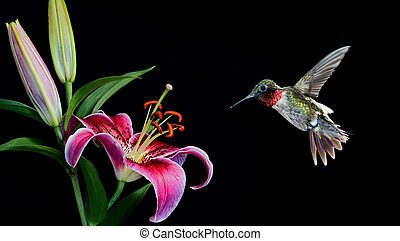 Ruby-throated hummingbird feeding from beautiful lily -...