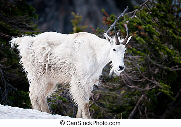 Mountain goat in the wild - Mountain goat on the snow in...