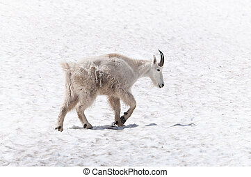 Walking mountain goat - Mountain goat walking on the snow
