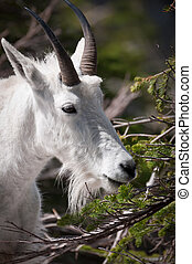Mountaing goat grazing the pine needles - Head of a mountain...