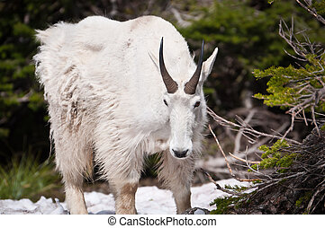 Mountain goat looks down - Mountain goat looking down at the...