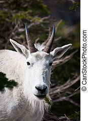 Mountain goat with pine spring in the mouth - Face of a...