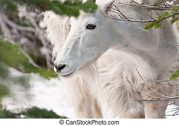 Mountain goat looks at the pine tree branch - Face of a...