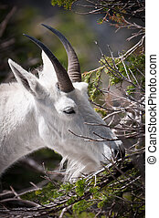 Mountain goat chewing fur-needles - Mountain goat chewing...