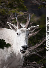 Smiling mountain goat - Mountain goat's face with mouth open