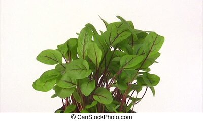 Garden sorrel - Fresh garden sorrel turn around on bright...