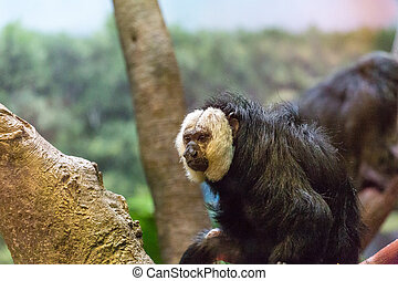White Faced Monkey in a tree