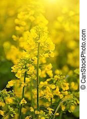 Rapeseed spring flowers - Rapeseed field with yellow...