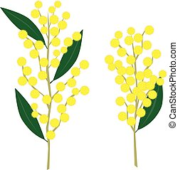 Wattle - Illustration of yellow wattle flowers