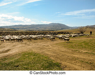 a flock of sheep grazing on the hill in sunny day in Georgia...
