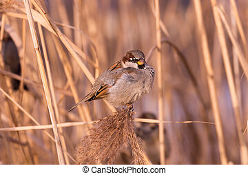 Young male sparrow Passer domesticus in reed